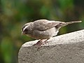Serinus tristriatus -Ethiopia-8.jpg