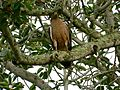 Serpent hawk eagle.jpg