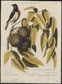 Setophaga tricolor - 1700-1880 - Print - Iconographia Zoologica - Special Collections University of Amsterdam - UBA01 IZ16300075.tif