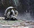 Seychellen Riesenschildkröte Paarung.jpg