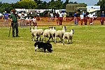 Sheep Dog Display (2621813408).jpg