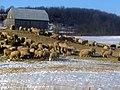 Sheep and an Alpaca, Hoard's Station 1272 (4192864865).jpg