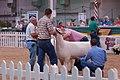 Sheep judging 2007.jpg