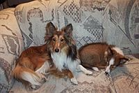 "Sable and white Shelties at one and half years and at 6 months. Professional grooming typically gives a fluffier coat than these. The puppy has a transitional ""puppy fuzz"" coat."