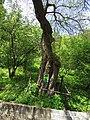 Shevchenko Morus Grishko bot. garden2.JPG