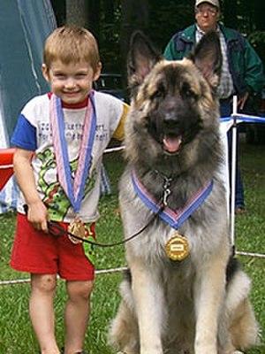 Shiloh Shepherd dog - Child with Shiloh Shepherd Dog