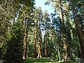 Sierra redwoods, Big Trees Trail, Sequoia National Park.jpg