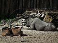 Siesta bei Connochaetes taurinus taurinus Zoo Landau 2011.JPG