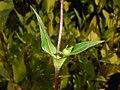 Silphium perfoliatum 2017-10-02 6890.jpg