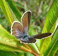 Silver-studded Blue. Plebejus argus. Female - Flickr - gailhampshire (1).jpg