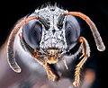 Silver hair wasp, face 2020-08-18-12.58.35 ZS PMax UDR (50255123607).jpg