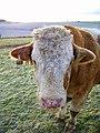 Simmental bull, Tidpit - geograph.org.uk - 1690306.jpg