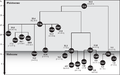 Simplified phylogeny of mtDNA U6 haplogroup.png
