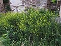 Sisymbrium loeselii aggregation.jpg