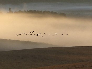English: Skein of geese over morning mist A lo...