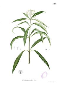 Skimmia laureola Blanco1.128