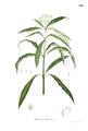 Skimmia laureola Blanco1.128.png