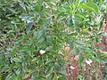 Skyflower (Duranta erecta) habit.jpg