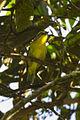 Slaty-capped Shrike-Vireo - Zamora - Ecuador S4E1362 (23015709291).jpg