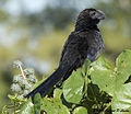 Smooth-billed Ani 3.jpg