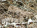 Snake in Grants Pass, Oregon (13999542079).jpg