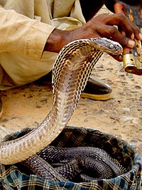Indian Cobra in a basket being charmed