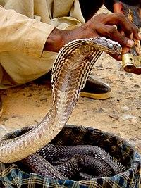 Cobra em posi��o de ataque.