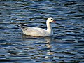 Snow Goose, Bryan County, Georgia, USA.jpg