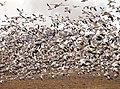 Snow geese (9151956821).jpg
