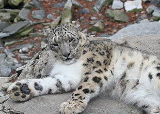 Snow leopard - A snow leopard showing its large paw with thick fur on pads