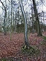 Snowy tree trunk in Great Wood - geograph.org.uk - 97385.jpg