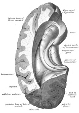 Hippocampus wikipedia image 2 cross section of cerebral hemisphere showing structure and location of hippocampus ccuart Gallery