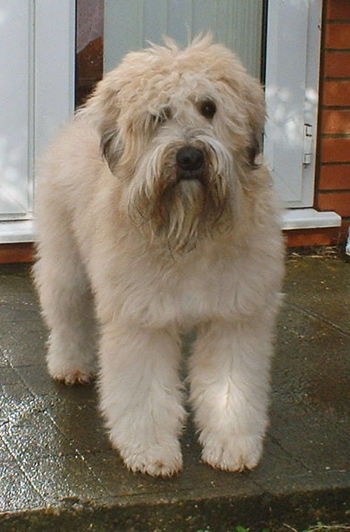 A 3½ year old Soft-coated Wheaten Terrier name...
