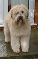 Softcoated Wheaten Terrier Clio.JPG
