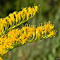 Solidago sp. (Goldenrod) (6311271383).jpg