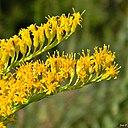 Solidago sp. (Goldenrod) (6311271383)