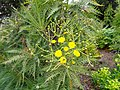 Sonchus canariensis - University of California Botanical Garden - DSC08945.JPG