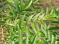 Sorbalia sorbifolia IMG 0947.JPG