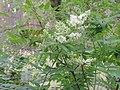 Sorbaria sorbifolia kz07.jpg
