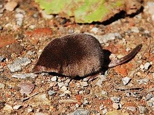 Eurasian pygmy shrew - Image: Sorex minutus