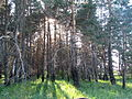 Sosnovka Bekovo 2015 Forest in the Valley of Khopyor River 02.JPG