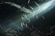 Супфиновая акула oregon.jpg