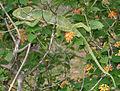 South Asian Chamaeleon (Chamaeleo zeylanicus) W2 IMG 1857.jpg