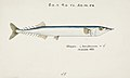Southern Pacific fishes illustrations by F.E. Clarke 88.jpg