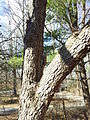 Southern flying squirrel on tree mid zoom.jpg