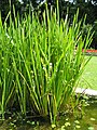 Sparganium japonicum1.jpg
