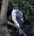 Sparrowhawk at the bottom of the garden 2 (5339461948).jpg