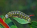 Sphingidae - Hyles gallii (caterpillar).JPG