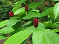 Spicebush - Flickr - treegrow.jpg