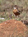 Spike-heeled lark, Chersomanes albofasciata, at Suikerbosrand Nature Reserve, Gauteng, South Africa (22644399205).jpg